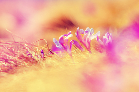 Amazing sunny spring scene. Impressively beautiful flowers Crocus, glowing in sunlight.