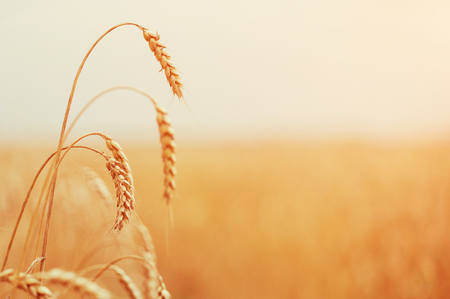 heat field. golden ears of wheat or rye. close up. under the influence of sunlight. majestic rural landscape.  vintage greative filter. small depth of field. Soft lighting effects.