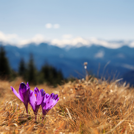Amazing spring scenery. View of magic blooming spring flowers crocus growing in wildlife. Purple crocus growing from earth outside. in  snow in spring. Incredible mountain  Nature Landscape. Saffron