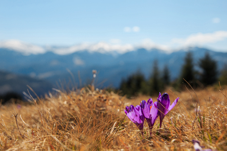 Crocus flower. Spring nature. Purple, violet season plant in blossom, bloom. Flora wildlife background. Saffron in forest or on meadow. Outdoor green grass. Colorful petal. Spring Nature scene.