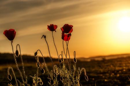 Red Poppy Flowers under sunlight during sunset. Agriculture natural Background, Majestic Rural Landscape. Fantastic Sunny Lanscape . Imagens
