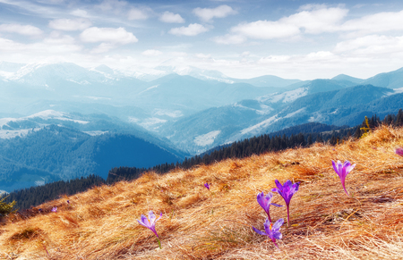 Wonderful sunny Spring Landscape. Moutain Vallley with Violet Flovers under Sunlight.  fantastic Nature Scenery. Awesome alpine highlands in sunny day