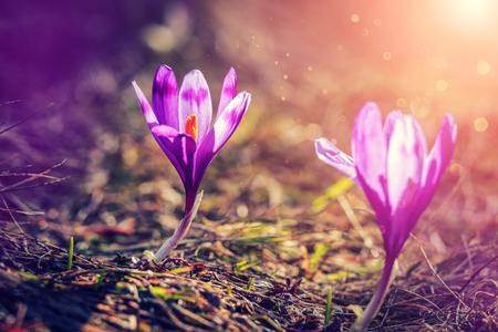 Wonderful Nature scene. Purple Spring Flower Crocus on green Background. Under sunlight. Amazing Spring scenery in outdoor. Soft light effect.