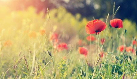 amazing red flowers of poppy on sky background. closeup. small depth of field. original creative image. Retro and vintage style,