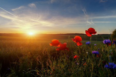 Fantastic landscape at summer sunset. Red and blue flowers under sunlight during sunset. Wonderful Sunny Scene. Amazing Nature background. Poppy flowers gloving in sunlit. agriculture concept.