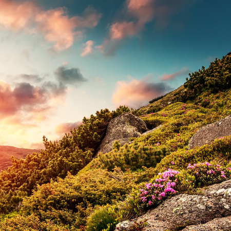 Wonderful alpine highlands with colorful clouds in the sky during sunset. Incredible nature landscape with rhododendron flowers in the mountains under sunlight. dramatic picturesque scene.