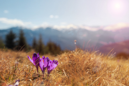 Amazing spring scenery. View of magic blooming spring flowers crocus growing in wildlife. Purple crocus growing from earth outside. in the snow in spring. Incredible mountain Nature Landscape.