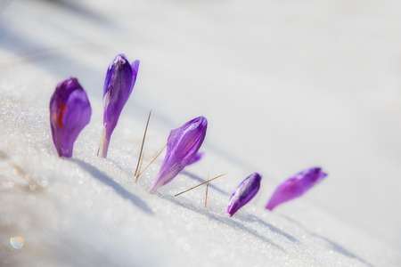 Impressive spring scene. Purple flowers Crocuses in the snow under sunlight. Amazing first spring flowers. View of  blooming violet crocuses in the snowwy valley. Natural background. close up Stock Photo