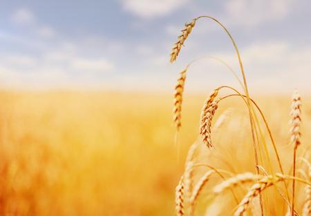 Campo di grano. spighe verdi di grano o segale su sfondo azzurro del cielo. Concetto ricco di raccolto. maestoso fantastico paesaggio rurale. Copia spazio installazione di luce solare all'orizzonte.