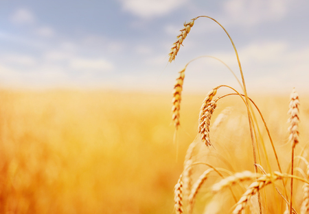 Wheat field. green ears of wheat or rye on blue sky background. Rich harvest Concept. majestic fantastic rural landscape. Copy space installation of sunlight on the horizon.