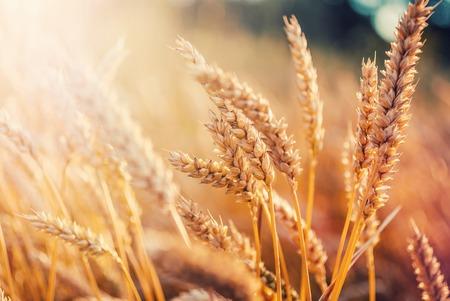 Campo di grano sullo sfondo del sole al tramonto. maestoso paesaggio rurale.