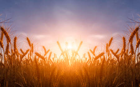 Wheat field. Ears of golden wheat close up during sunrise. Beautiful Nature Sunset Landscape. Rural Scenery under Shining Sunlight. Background of ripening ears of wheat field. Rich harvest Concept