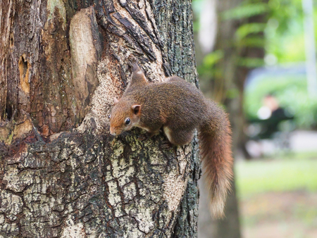 The squirrel holding on a tree that looking down. Stock Photo