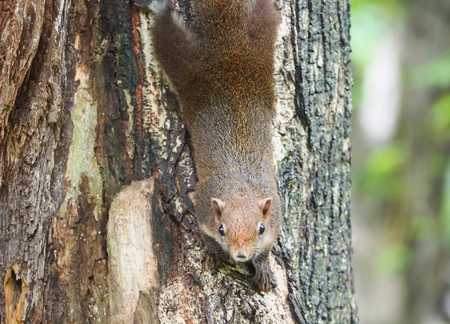 Close up the red squirrel while looking camera. Stock Photo