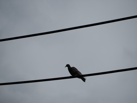 silhouette dove on the wire. Фото со стока