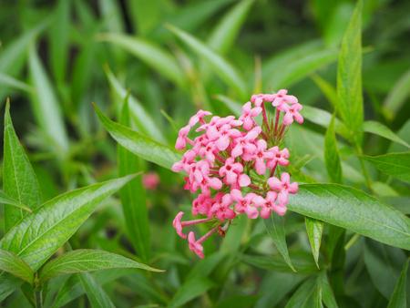 beautiful pink lxora flower.