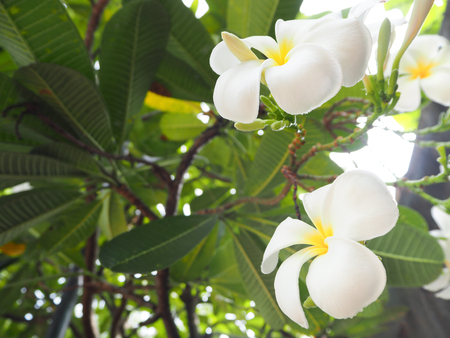 when: Plumeria is a popular plant because the flowers can make us feeling fresh when see them. Stock Photo