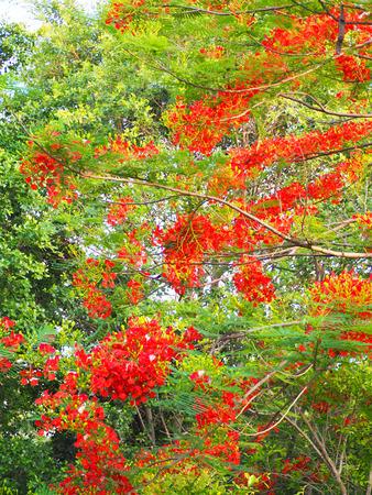 Beautiful orange of peacock flower on the tree. Stock Photo