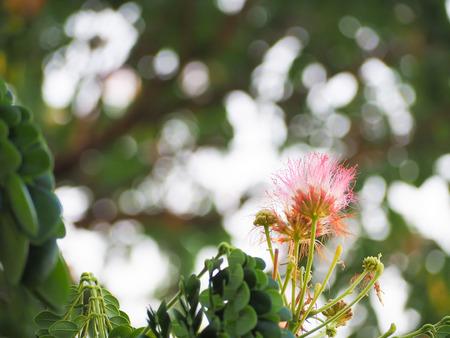 Beautiful puff of pink mimosa flower on tree with blur leaf green beautiful puff of pink mimosa flower on tree with blur leaf green background stock photo mightylinksfo