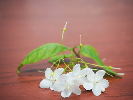close up white of flowers are fragrant (Wrightia religiosa Benth.) on wood background.