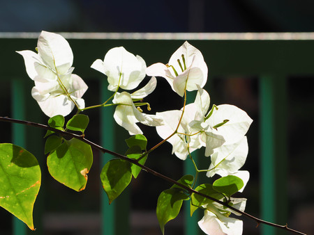 White flowers of bougainvillea flower with blur background.