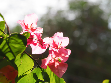 Pink flowers of bougainvillea flower with blur background.