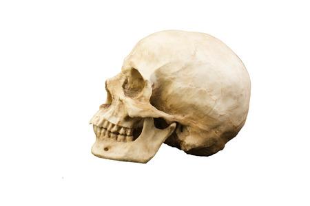 origen animal: cráneo humano