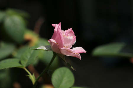 pure: the pure rose