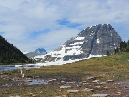 Berggeit (oreamnos americanus) op Going-to-the-Sun Road, langs wandelpad bij Logan Pass Glacier National Park Montana VS Stockfoto