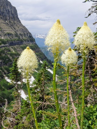 Closeup of Beargrass (Xerophyllum tenax) white flower on Highline Trail at Logan Pass on the Going to the Sun Road in Glacier National Park USA