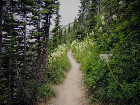 Beargrass (Xerophyllum tenax) white flower on Highline Trail at Logan Pass on the Going to the Sun Road in Glacier National Park USA Stock Photo