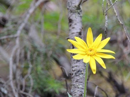 Arnica Flower, Heartleaf, close up macro in Banff National Park, Canada