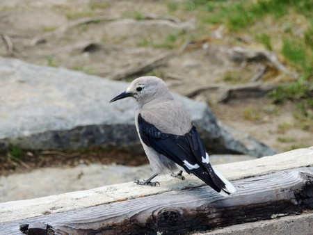 A Clarks nutcracker (Nucifraga columbiana), sometimes referred to as Clarks crow or woodpecker crow, is a passerine bird in the family Corvidae, seen Hiking around Lake Louise, the Tea House, Lake Agnes, Lakeview trail, Plain of six glaciers, Mirror Lake, Little and Big Beehive, Banff National Park, Canada, Alberta Stock Photo