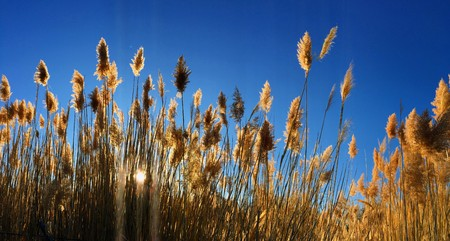 Tall pampas (Cortaderia) grass in a field on the background of the setting sun and blue sky. Bright Sunny summer photo. Golden ears of grass swaying in the wind backlite in the sun in Magna, Wasatch Front, Rocky Mountains, Utah, USA Stock Photo
