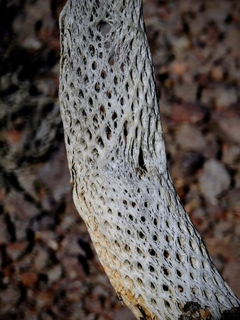 Close up of a dead, dried up, Perforated skeleton of a cholla jumping cactus in Arizona, USA