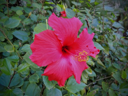 Close up of a red Hibiscus which is a genus of flowering plant in the mallow family, Malvaceae.
