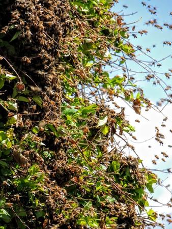 Huge Swarm of Bees on Honey Suckle in Utah Stock Photo
