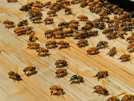 Huge Swarm of Bees fanning on board from Tree Branch to hive in Utah