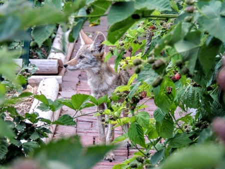 Close up of young coyote crouching in suburban Garden through Blackberry plants Reklamní fotografie