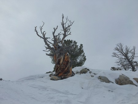 Winter majestic view of ancient desert dead gnarly pine tree, around Wasatch Front Rocky Mountains, Brighton Ski Resort, close to Salt Lake and Heber Valley, Park City, USA
