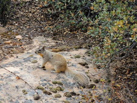 Ground squirrel around the Red Cliffs National Conservation Area on the Yellow Knolls hiking trail located in southwest Utah, north of St. George at the northeastern-most edge of the Mojave Desert. Stock Photo