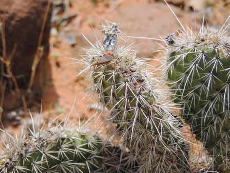 Close up macro on a True Bug (Heteroptera Linnaeus) on cactus plant, near St George Utah in South Western Desert USA