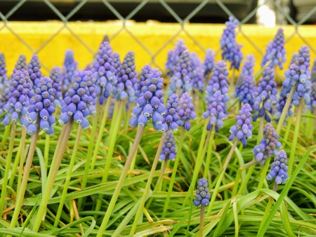 Grape hyacinth Muscari armeniacum flowering in early spring. Macro of blue Muscari flower meadow with yellow curb and chain link fence in background in Indianapolis Indiana. Stock Photo