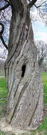Old battered large tree in Garfield Park by Bean Creek in Indianapolis Indiana, Tall Panorama