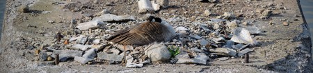 Canadian Goose nesting on concrete bridge ruin in White River State Park Indianapolis Indiana, USA.