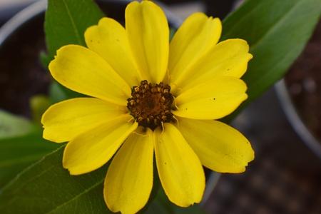 Macro shot of a beautiful blossomed Zinnia flower in a home garden in South Jordan, Utah. Foto de archivo - 101519743