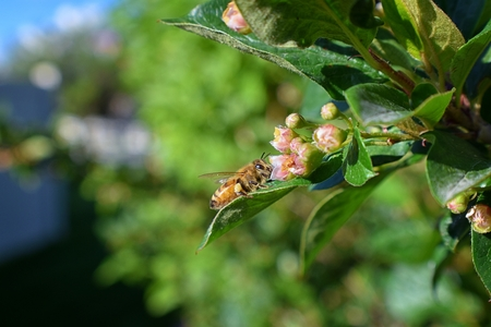 Honey Bee, Macro closeup view, collecting nectar and pollen on a Cotoneaster flower blossom which is a genus of flowering plants in the rose family, Rosaceae in a Cottage Garden in Utah, USA. Фото со стока
