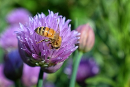 Honey Bee collecting nectar and pollen on a Chive (Allium schoenoprasum) onion flower blossom closeup macro view in cottage garden in Utah, USA. Stock Photo