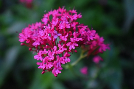 Macro view of Centranthus ruber, also called red valerian, spur valerian, kiss-me-quick, fox's brush, Devil's Beard  and Jupiter's beard, which is a popular garden plant grown for its ornamental flowers in cottage garden in Utah, USA.