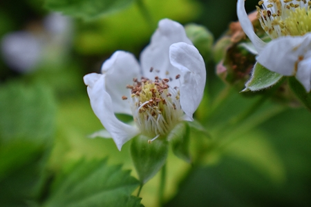 Macro view of Boysenberry (Rubus ursinus) blossom